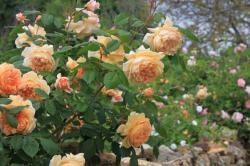 rosiers-abricot.jpg